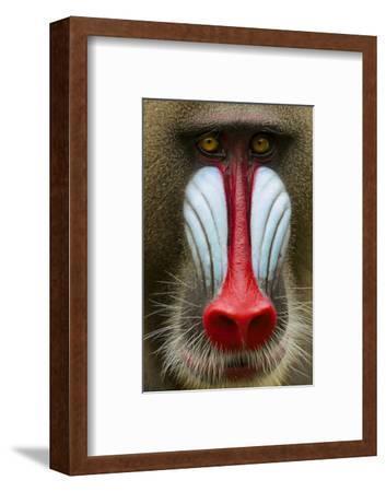 Mandrill Male (Mandrillus Sphinx) Close Up Face Portrait, Lekedi National Park, Gabon-Mark Macewen-Framed Photographic Print