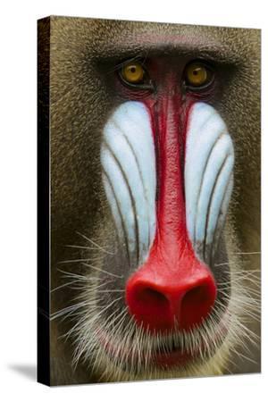 Mandrill Male (Mandrillus Sphinx) Close Up Face Portrait, Lekedi National Park, Gabon-Mark Macewen-Stretched Canvas Print