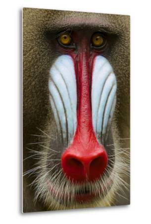 Mandrill Male (Mandrillus Sphinx) Close Up Face Portrait, Lekedi National Park, Gabon-Mark Macewen-Metal Print