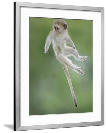 Vervet Monkey (Chlorocebus Pygerythrus) Baby Jumping Between Branches, Photographed Mid Air-Wim van den Heever-Framed Photographic Print