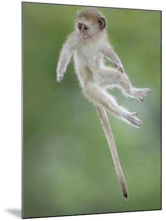 Vervet Monkey (Chlorocebus Pygerythrus) Baby Jumping Between Branches, Photographed Mid Air-Wim van den Heever-Mounted Photographic Print