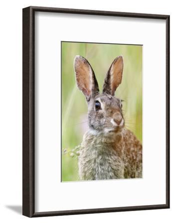 Eastern Cottontail (Sylvilagus Floridanus) Portrait, Laredo Borderlands, Texas, USA. April-Claudio Contreras-Framed Photographic Print