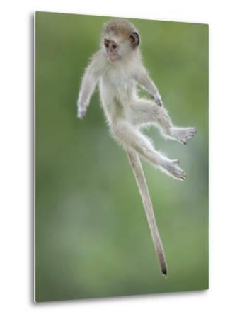 Vervet Monkey (Chlorocebus Pygerythrus) Baby Jumping Between Branches, Photographed Mid Air-Wim van den Heever-Metal Print