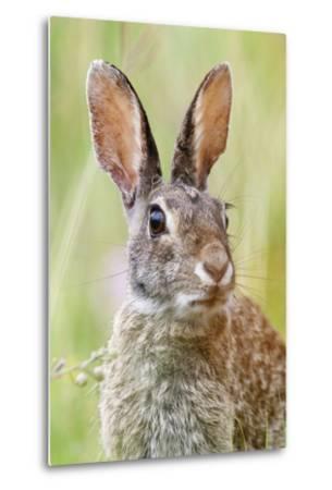 Eastern Cottontail (Sylvilagus Floridanus) Portrait, Laredo Borderlands, Texas, USA. April-Claudio Contreras-Metal Print