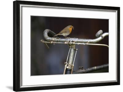 Robin Erithacus Rubecula on Bicycle-Ernie Janes-Framed Photographic Print