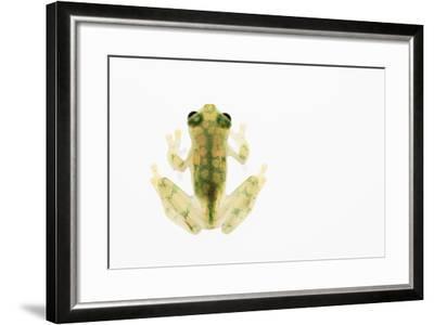 Reticulated Glass Frog (Hyalinobatrachium Valerioi) Captive-Edwin Giesbers-Framed Photographic Print