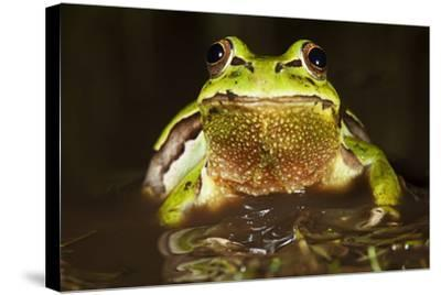Ridged Tree Frog (Hyla Plicata), Milpa Alta Forest, Mexico, September-Claudio Contreras Koob-Stretched Canvas Print