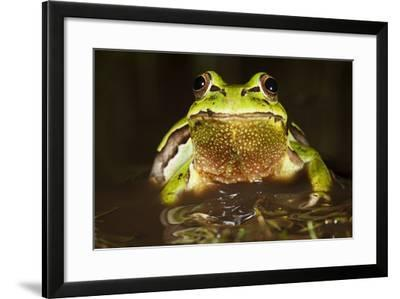 Ridged Tree Frog (Hyla Plicata), Milpa Alta Forest, Mexico, September-Claudio Contreras Koob-Framed Photographic Print