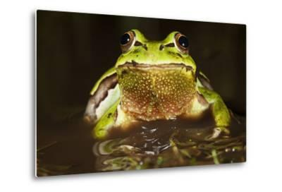 Ridged Tree Frog (Hyla Plicata), Milpa Alta Forest, Mexico, September-Claudio Contreras Koob-Metal Print