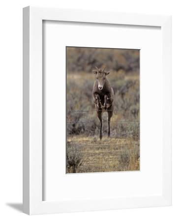 Rocky Mountain Bighorn Sheep (Ovis Canadensis) Female Jumping Barbed Wire Fence, Montana, USA-Charlie Summers-Framed Photographic Print