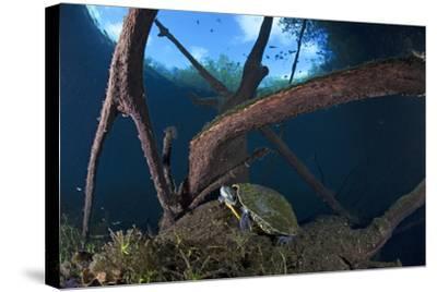 Mesoamerican Slider Turtle - Terrapin (Trachemys Scripta Venusta) in Sinkhole-Claudio Contreras-Stretched Canvas Print