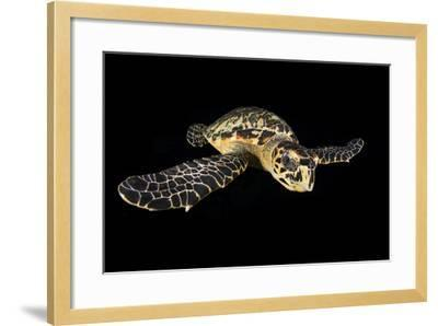 Hawksbill Turtle (Eretmochelys Imbricata) Swimming at Night-Alex Mustard-Framed Photographic Print