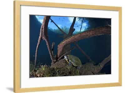 Mesoamerican Slider Turtle - Terrapin (Trachemys Scripta Venusta) in Sinkhole-Claudio Contreras-Framed Photographic Print