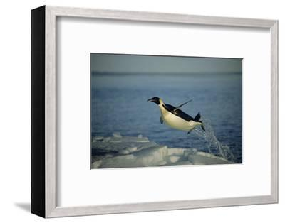 Emperor Penguin Flying Out of Water (Aptenodytes Forsteri) Cape Washington, Antarctica-Martha Holmes-Framed Photographic Print