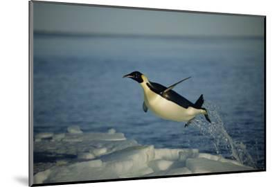 Emperor Penguin Flying Out of Water (Aptenodytes Forsteri) Cape Washington, Antarctica-Martha Holmes-Mounted Photographic Print