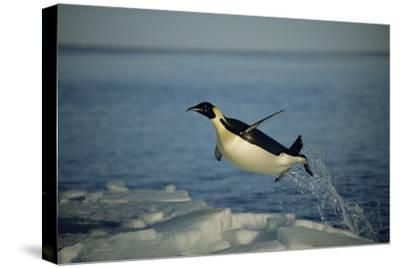 Emperor Penguin Flying Out of Water (Aptenodytes Forsteri) Cape Washington, Antarctica-Martha Holmes-Stretched Canvas Print