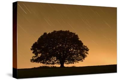 English Oak Tree (Quercus Robur) Silhouetted Against Orange Sky with Star Trails-Solvin Zankl-Stretched Canvas Print
