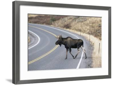 Moose--Framed Photographic Print