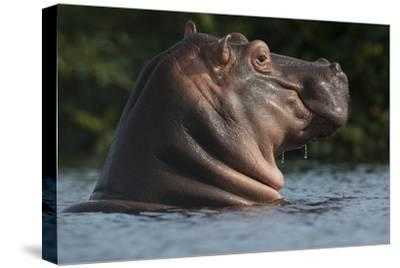 Hippopotamus (Hippopotamus Amphibius) with Head Raised Above Water Surface-Pedro Narra-Stretched Canvas Print