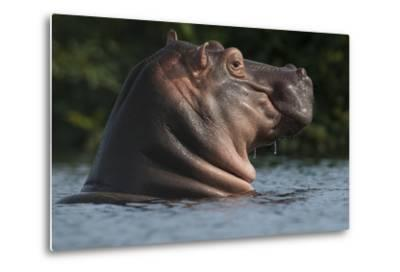 Hippopotamus (Hippopotamus Amphibius) with Head Raised Above Water Surface-Pedro Narra-Metal Print
