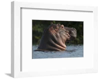 Hippopotamus (Hippopotamus Amphibius) with Head Raised Above Water Surface-Pedro Narra-Framed Photographic Print
