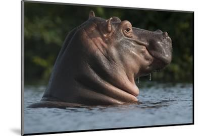 Hippopotamus (Hippopotamus Amphibius) with Head Raised Above Water Surface-Pedro Narra-Mounted Photographic Print