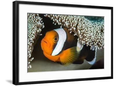 Saddleback Anemonefish (Amphiprion Polymnus) in Anemone Home, Anilao, Batangas, Luzon, Philippines-Alex Mustard-Framed Photographic Print