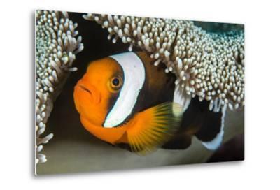 Saddleback Anemonefish (Amphiprion Polymnus) in Anemone Home, Anilao, Batangas, Luzon, Philippines-Alex Mustard-Metal Print