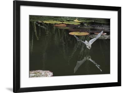 Natterer's Bat (Myotis Nattereri) About to Drink from the Surface of a Lily Pond, Surrey, UK-Kim Taylor-Framed Photographic Print
