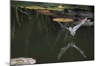 Natterer's Bat (Myotis Nattereri) About to Drink from the Surface of a Lily Pond, Surrey, UK-Kim Taylor-Mounted Photographic Print