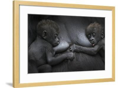 Western Lowland Gorilla (Gorilla Gorilla Gorilla) Twin Babies Age 45 Days Resting on Mother's Chest-Edwin Giesbers-Framed Photographic Print