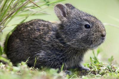 Volcano Rabbit (Romerolagus Diazi) Milpa Alta Forest-Claudio Contreras Koob-Framed Photographic Print