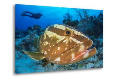 Nassau Grouper (Epinephelus Striatus) Watched by a Diver on a Coral Reef-Alex Mustard-Metal Print