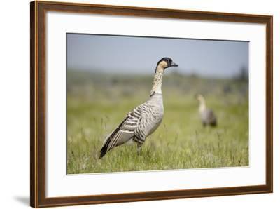Nene - Hawaiian Goose (Branta Sandvicensis) Hawaii. April. Vulnerable Species-Gerrit Vyn-Framed Photographic Print