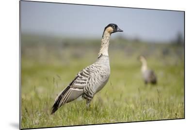 Nene - Hawaiian Goose (Branta Sandvicensis) Hawaii. April. Vulnerable Species-Gerrit Vyn-Mounted Photographic Print