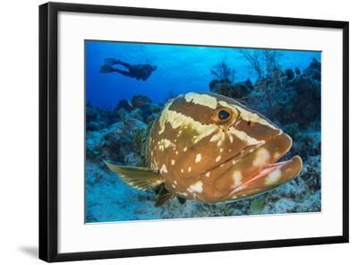 Nassau Grouper (Epinephelus Striatus) Watched by a Diver on a Coral Reef-Alex Mustard-Framed Photographic Print