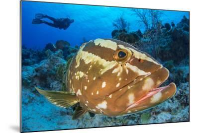 Nassau Grouper (Epinephelus Striatus) Watched by a Diver on a Coral Reef-Alex Mustard-Mounted Photographic Print