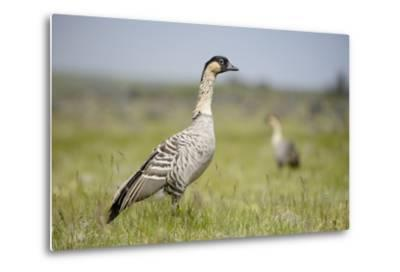Nene - Hawaiian Goose (Branta Sandvicensis) Hawaii. April. Vulnerable Species-Gerrit Vyn-Metal Print