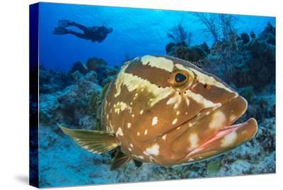 Nassau Grouper (Epinephelus Striatus) Watched by a Diver on a Coral Reef-Alex Mustard-Stretched Canvas Print