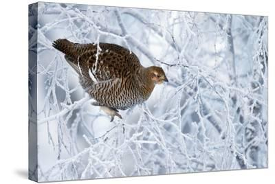 Female Black Grouse (Tetrao - Lyrurus Tetrix) Perched in Tree Covered in Snow-Markus Varesvuo-Stretched Canvas Print