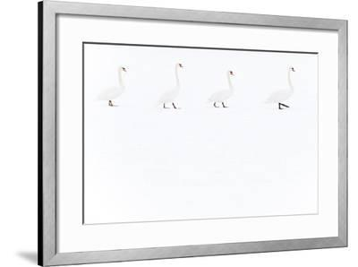 Mute Swan (Cygnus Olor) Group of Four Camouflaged Against Winter Snow-Edwin Giesbers-Framed Photographic Print