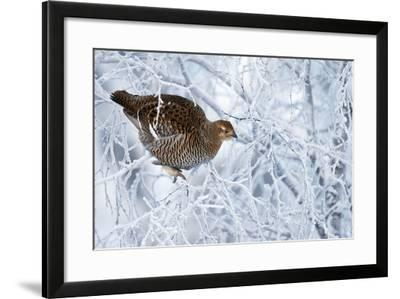 Female Black Grouse (Tetrao - Lyrurus Tetrix) Perched in Tree Covered in Snow-Markus Varesvuo-Framed Photographic Print
