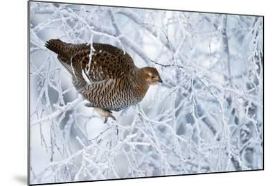 Female Black Grouse (Tetrao - Lyrurus Tetrix) Perched in Tree Covered in Snow-Markus Varesvuo-Mounted Photographic Print