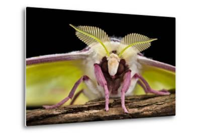 Indian Moon Moth - Indian Luna Moth (Actias Selen) Head-On View Showing Feather-Like Antennae-Alex Hyde-Metal Print