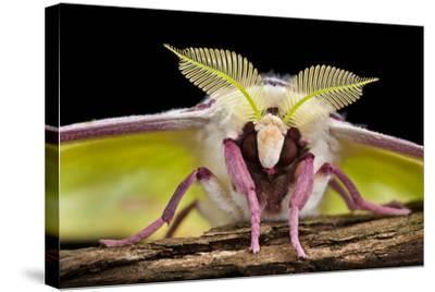 Indian Moon Moth - Indian Luna Moth (Actias Selen) Head-On View Showing Feather-Like Antennae-Alex Hyde-Stretched Canvas Print