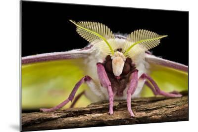 Indian Moon Moth - Indian Luna Moth (Actias Selen) Head-On View Showing Feather-Like Antennae-Alex Hyde-Mounted Photographic Print