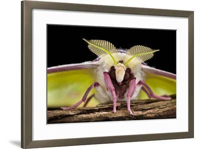 Indian Moon Moth - Indian Luna Moth (Actias Selen) Head-On View Showing Feather-Like Antennae-Alex Hyde-Framed Photographic Print