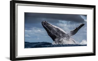 Humpback Whale (Megaptera Novaeangliae) Breaching During Annual Sardine Run-Wim van den Heever-Framed Photographic Print