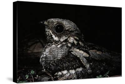 Nightjar on Ground, Woodland, Spain (Caprimulgus Europaeus)--Stretched Canvas Print