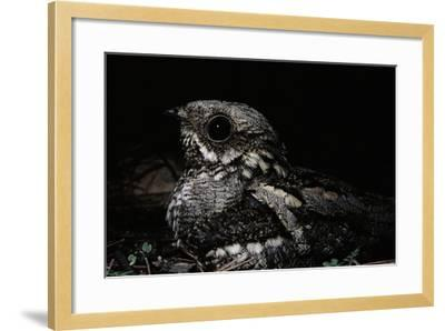 Nightjar on Ground, Woodland, Spain (Caprimulgus Europaeus)--Framed Photographic Print
